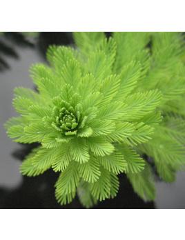 Stolístok vodný - Myriophyllum aquaticum