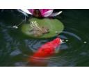 Krmení koi při nižší teplotě vody