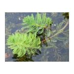 Filtrační rostliny